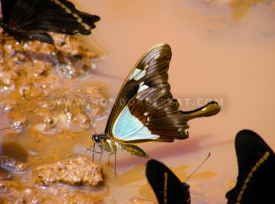 A Muddy Affair For This Forest Butterfly