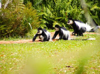 Black And White Colobus Monkeys On Our Gardens
