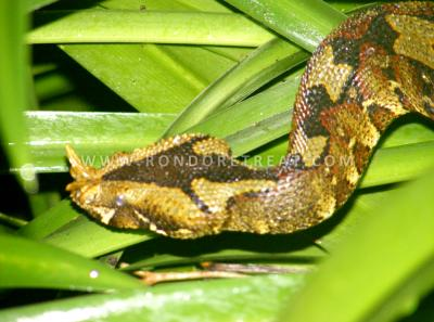 Fatal Attraction The Rhinoceros Horned Viper