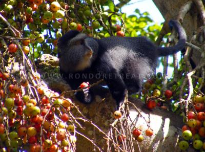 Fig Fest Blue Monkey Enjoying Fruits From A Fig Tree1