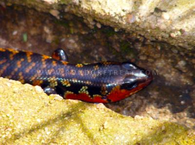 Red Flanked Skink
