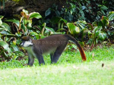 Red Tailed Monkey Strolling On Our Garden