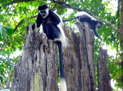 Rondo Retreat Centres Naughty Lot The Black And White Colobus Monkeys